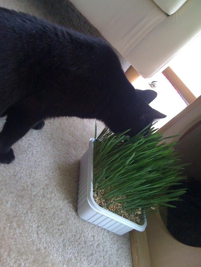 Cat grass!!!!!!!!!!!!!!!!!!!!!!!!