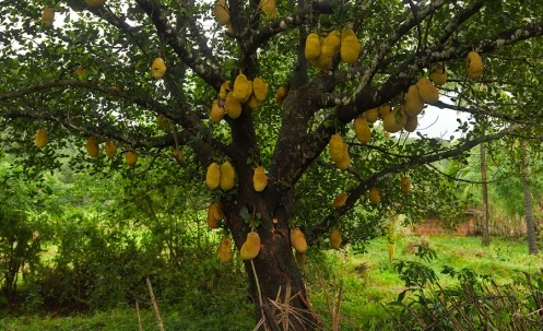 One strange fruit... Jackfruit!